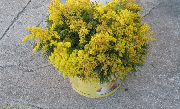 Early spring flowers - Mimoza