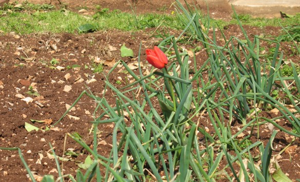 A lone tulip growing amongst spring onions