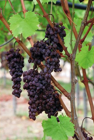Vine dried grapes